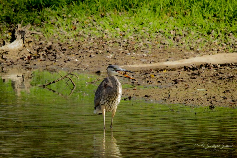 heron-fishing-103