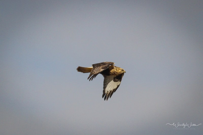 rough-legged-hawk-110