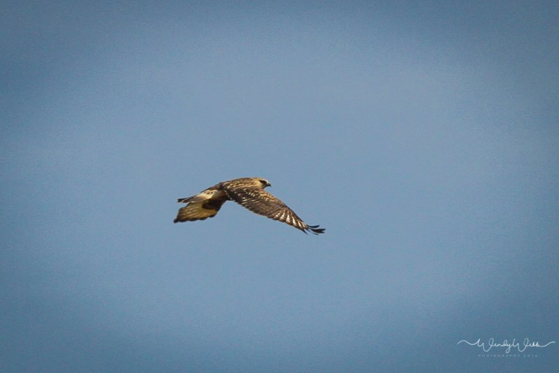 rough-legged-hawk-112