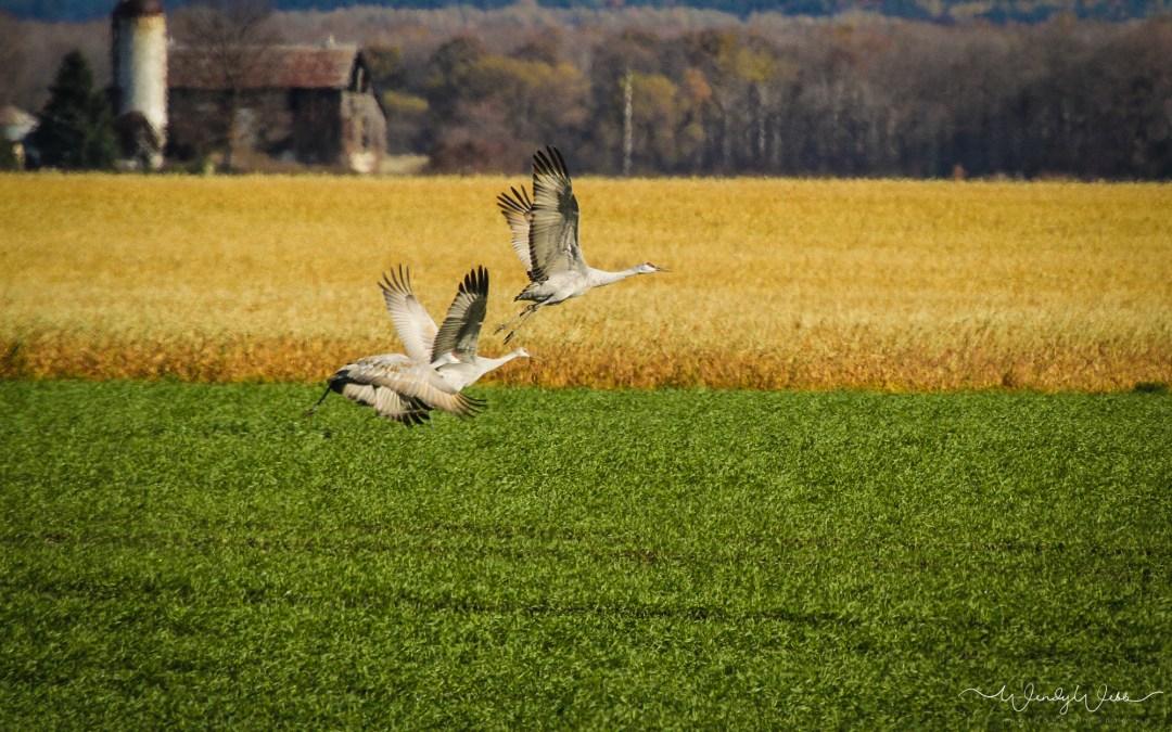 Flocking Sandhill Cranes
