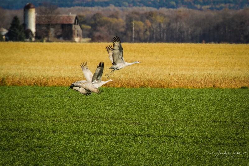 sandhill-flock-103