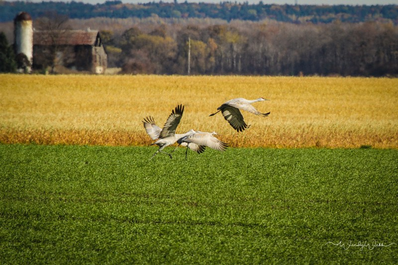 sandhill-flock-104