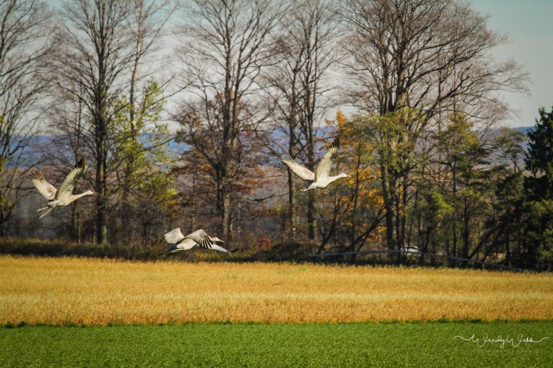sandhill-flock-108