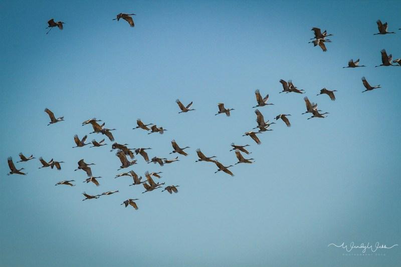 sandhill-flock-110