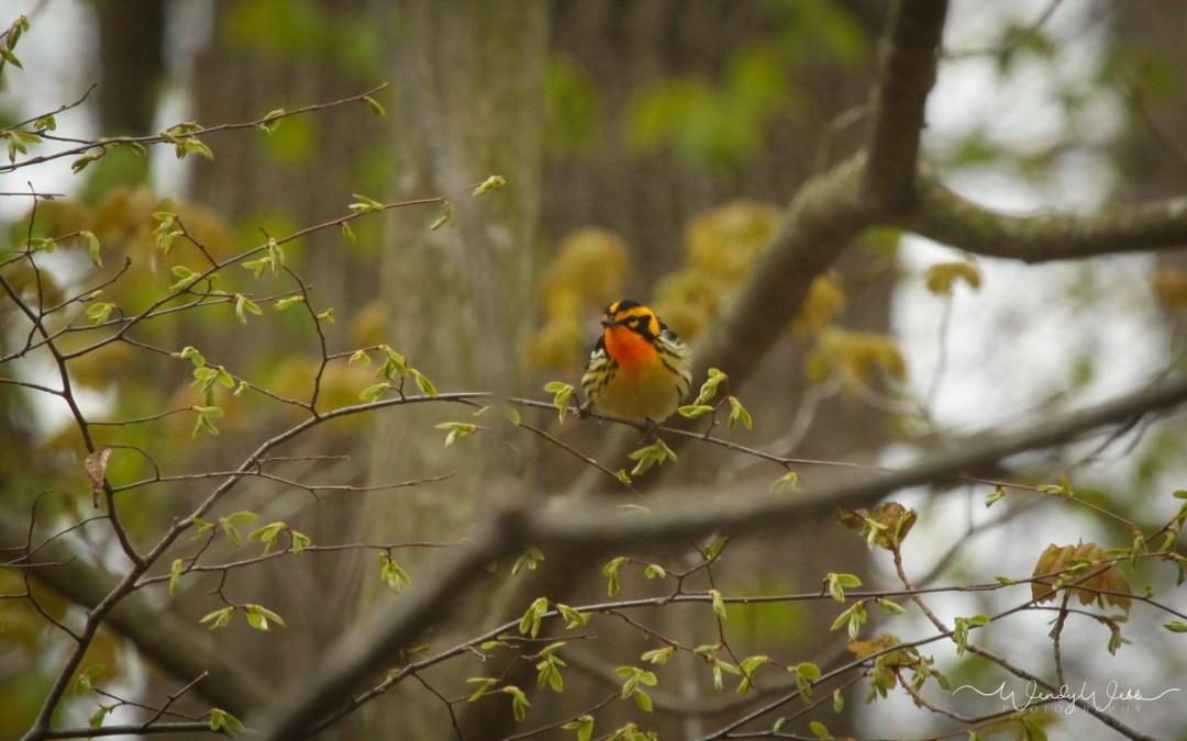 Warbler, Blackburnian #181