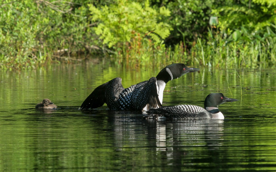 Loons on an early morning paddle