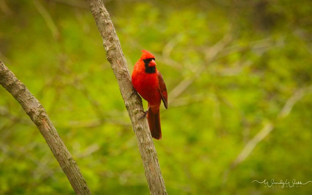 Nothern Cardinal