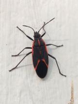 box-elder-bug-adult