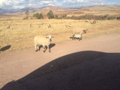 We had to stop at least three times for sheep crossing the road.