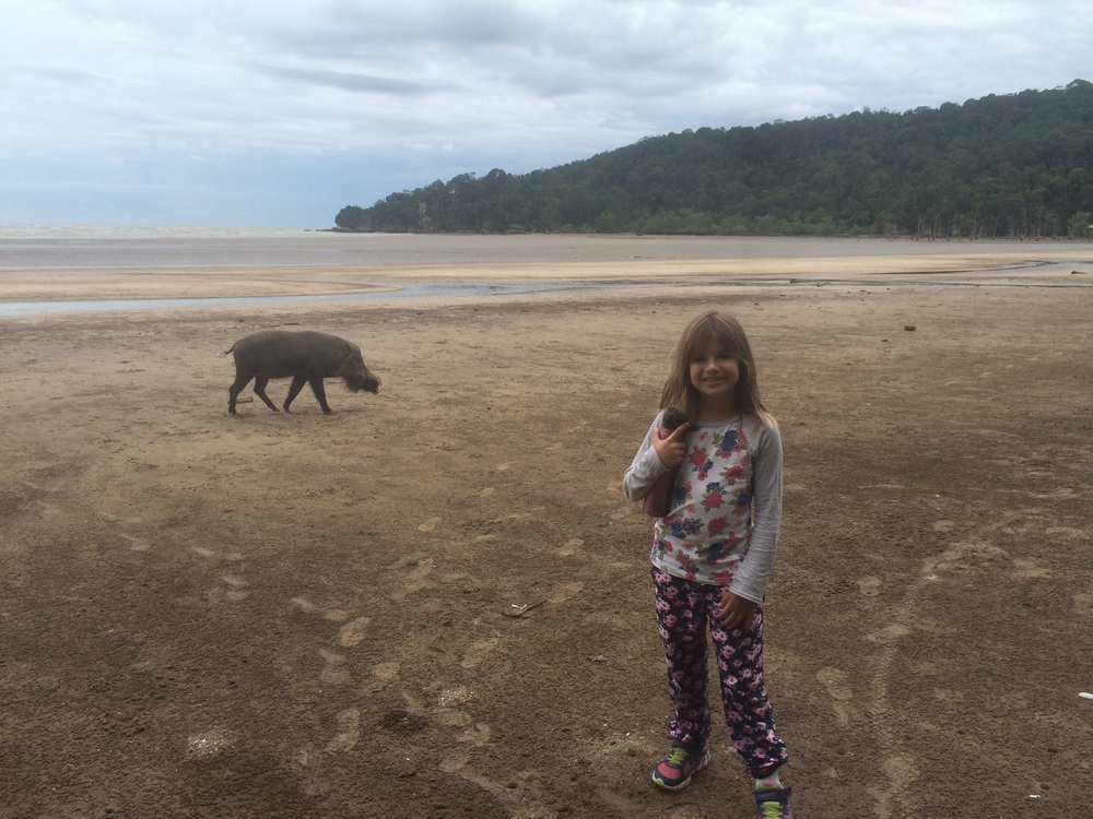 Bearded pig scrounging for food at low tide. The boat brought us to this point and the entrance to the park was about