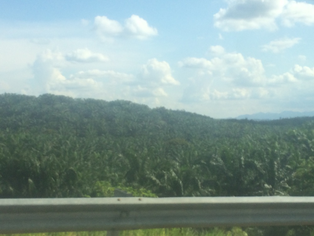 Palm oil plantations for as far as the eye can see.