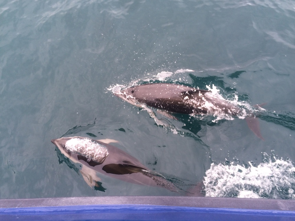 Some Dusky Dolphins playing under our boat.