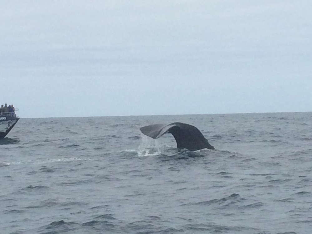 The sperm whale tail coming up.