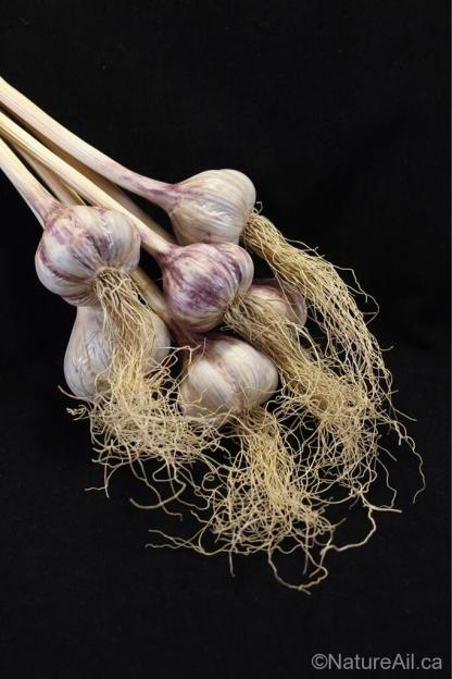 Ail Garlic - Persian Star - Bâtons au naturel