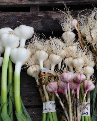 Ail du Québec Garlic - Plusieurs Variétés | Many Varieties