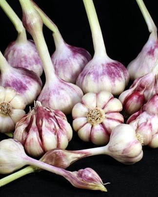 Ail Garlic - Sicilian Gold - Bulbes