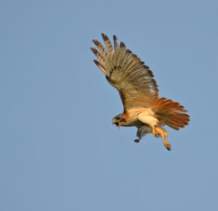 Hawk ready to fight