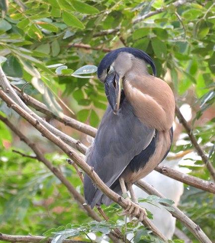 Boat-billed Heron preening