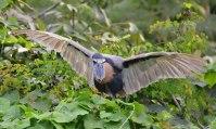 Boat-billed Heron landing
