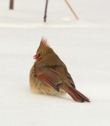 female-cardinal-January