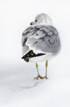 gull-standing-in-snow