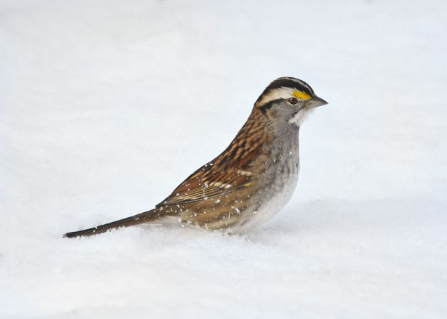 white-throated-sparrow-31
