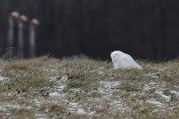 Owl-in-field