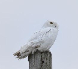 Owl-on-Post