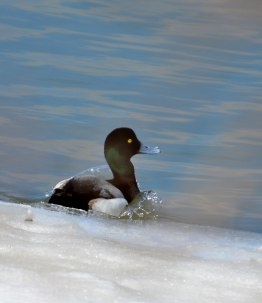 Scaup-entering-water
