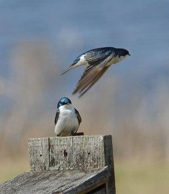 Swallows-at-Nest-Box-2