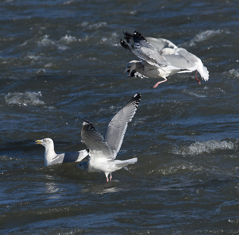 Some Gull Action
