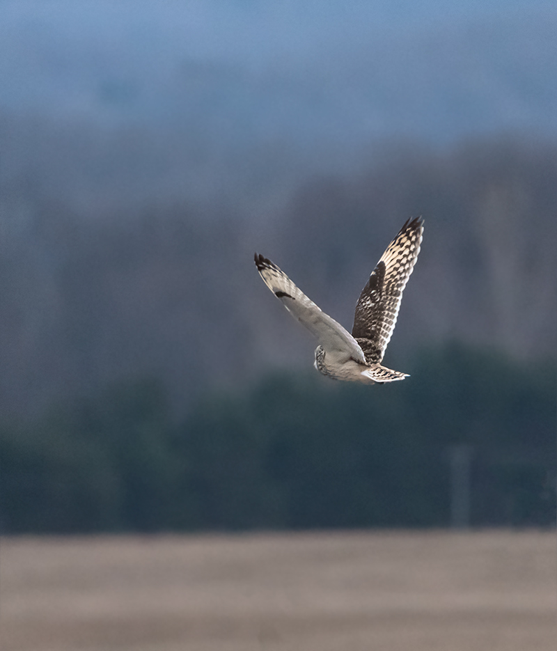 Short -Eared Owls