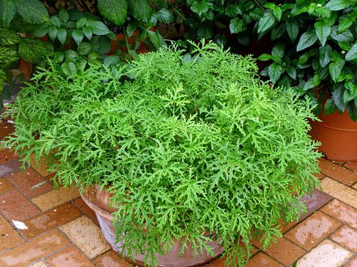 citronella-plant