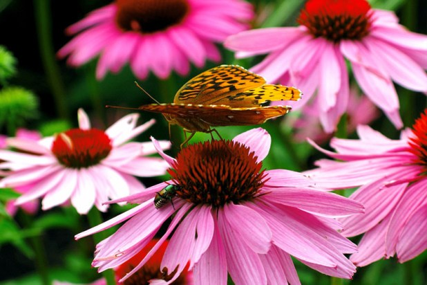cone-flowers_forestwander
