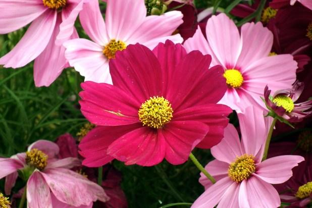 cosmos_flower-1