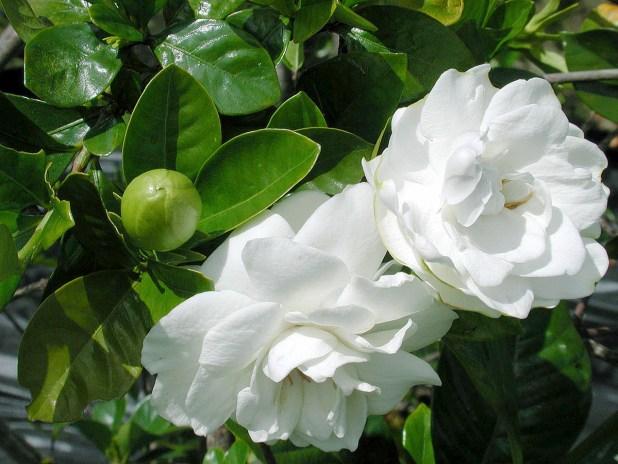 Gardenia_plant_in_bloom_001