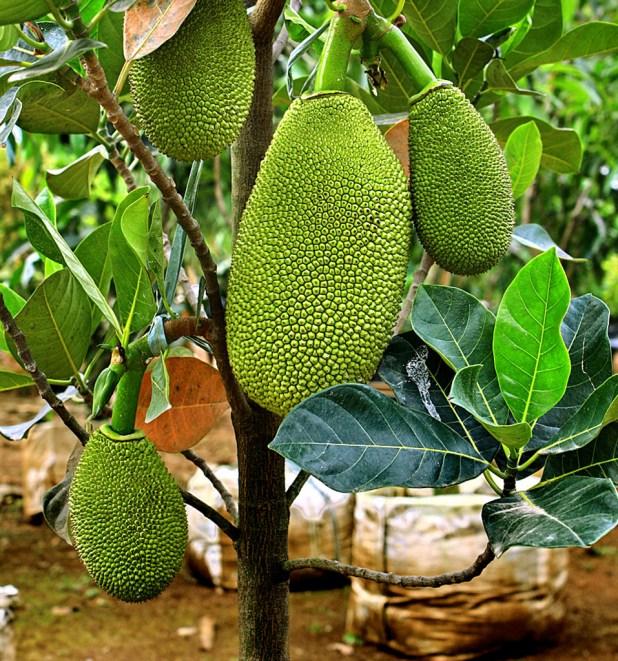 Mini_Jackfruit_3