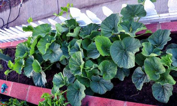 boottle gourd plant 3