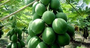 How to grow Dwarf Papaya easy tips: Nature Bring