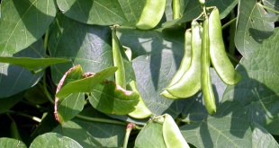 A simple way of growing and care of Lima Beans | Nature Bring