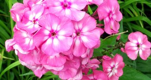 How to grow and care favorite Phlox | Nature Bring