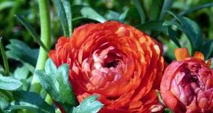 Ranunculus bulbs planting and care guide | Nature Bring