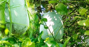 Ash Gourd cultivation and caring tips