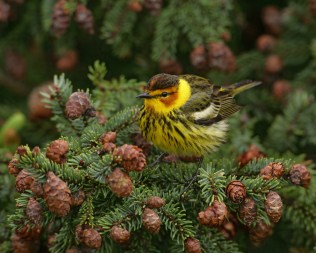 male-cape-may-warbler_reduced