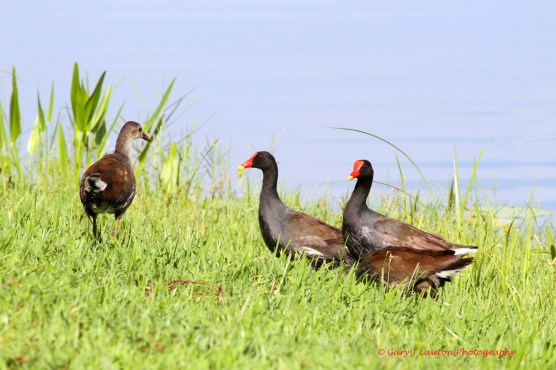 Common Gallinule Family