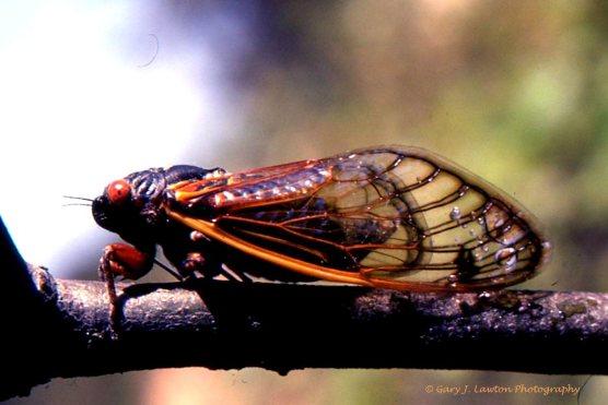 This is the periodical cicada I saw 17 years ago in the oak forests of Long Island. Not the orange eyes.