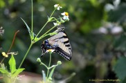Swallowtail on Flower.