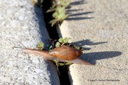 Rosy Wolf Snail Crossing