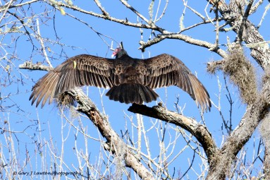 Turkey Vulture Outstreched Wings 2