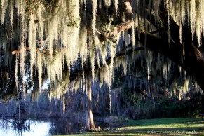 Spanish Moss Hanging in Old Tree